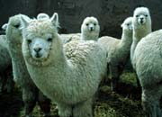 white alpacas in peru